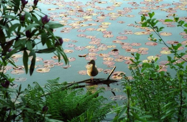 Lochbuie Duck